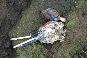 Plastic pollution, nurdles and cotton bud found in regurgitated gull pellet, Scotland